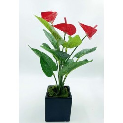 Plante Exotique Anthurium...