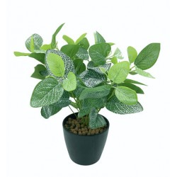 Plante Exotique-Sauge Medium