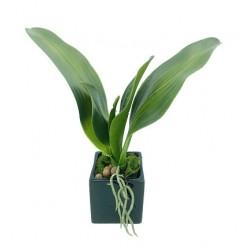 Pieds de l'Orchidée