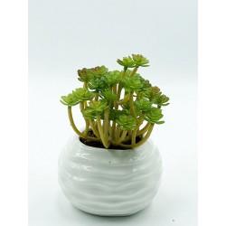 Plante Grasse-Mini Aeonium 03