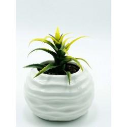 Plante Grasse-Mini Aeonium 06