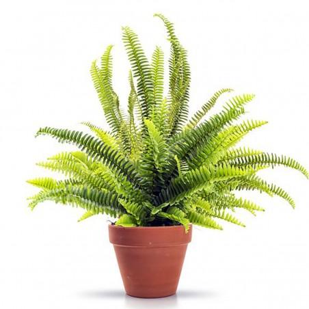 Plante Exotique-Fougère de...